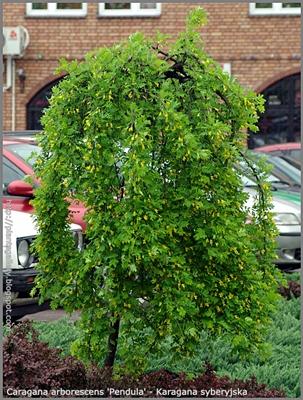 Caragana arborescens 'Pendula' - Karagana syberyjska 'Pendula'