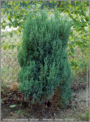 Juniperus chinensis 'Stricta' - Jałowiec chiński 'Stricta'