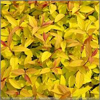 Spiraea japonica 'Goldflame' - Tawuła japońska 'Goldflame'