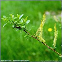 Salix triandra - Wierzba trójpręcikowa