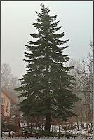 Abies concolor - Jodła kalifornijska, jodła jednobarwna