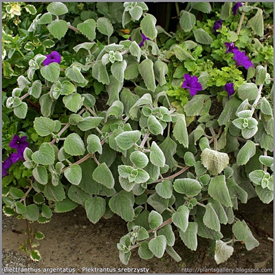Plectranthus argentatus - Plektrantus srebrzysty