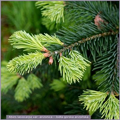 Abies lasiocarpa var. arizonica - Jodła górska arizońska