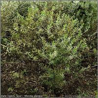 Salix repens 'lona' - Wierzba płożąca