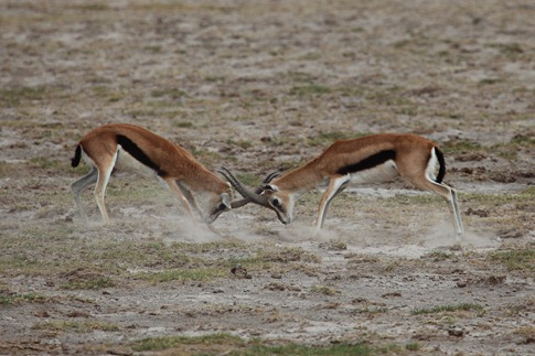 luta entre animais desbaratinando (22)