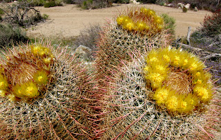 Trio of blooming barrel cacti deep in Carrizo Gorge - Anza Borrego Desert