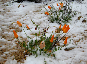 Snow covered Spring Poppies near Sunrise Highway