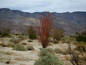 Red Ocotillo in Rockhouse Canyon - Anza Borrego