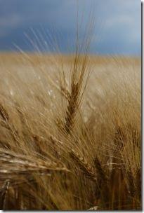 wheatfield von sxc.hu