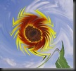 sunflower ring of fire 1 twist