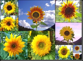 10 10 10 Sunflowers1