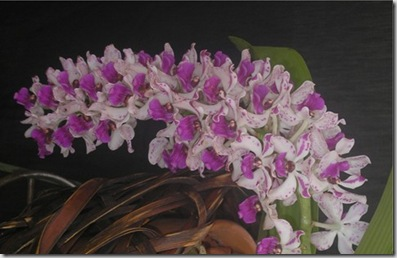 2008 orchid show 013
