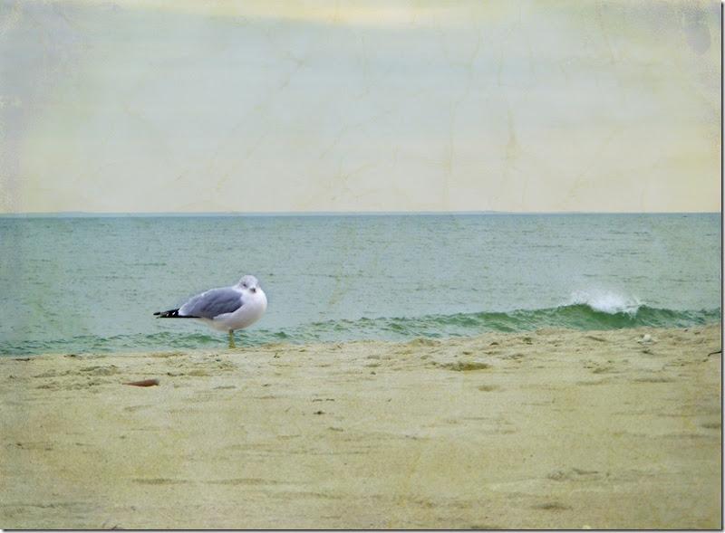 Beach Gull