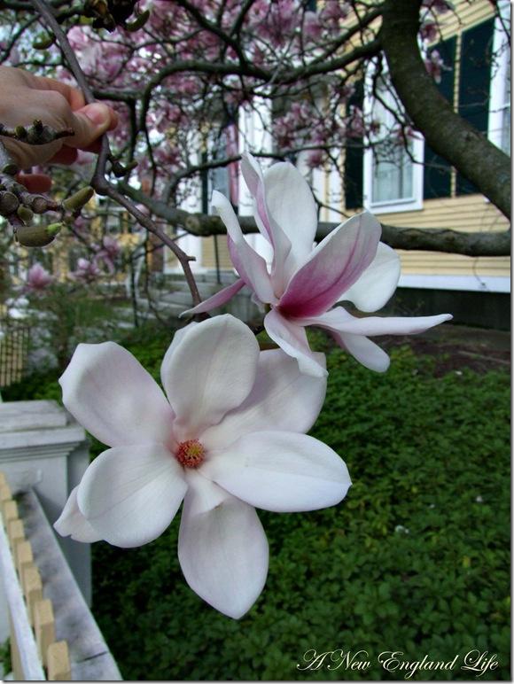 Magnolia flowers b
