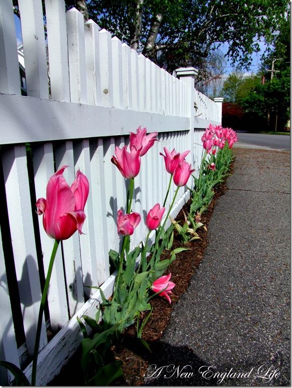 Tulips Pink b