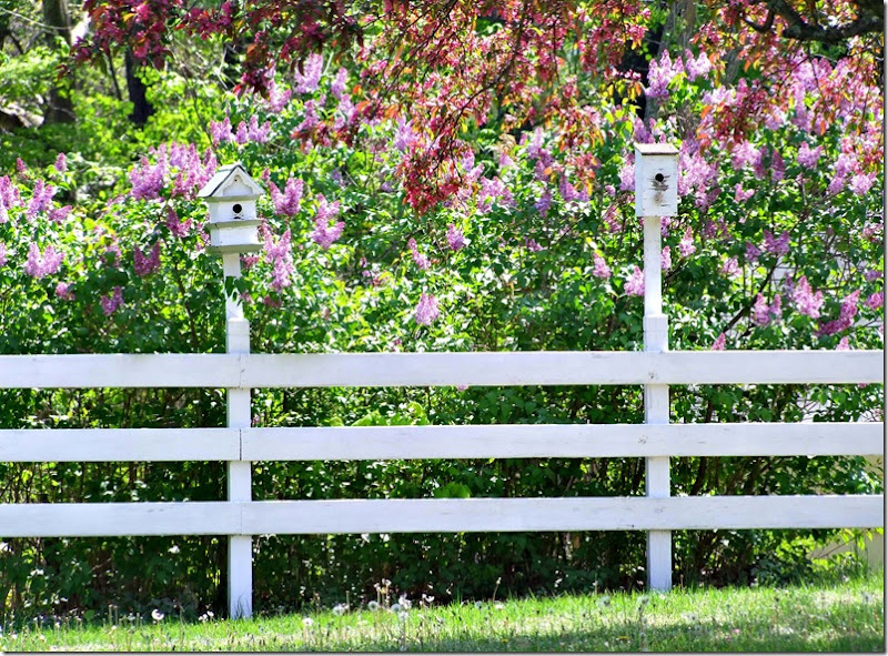 Lilac fence