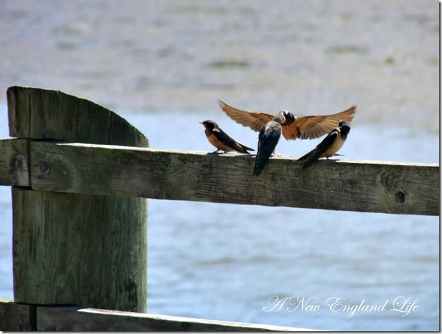 swallows on the wing