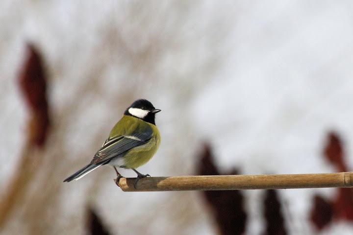 les oiseaux du jardin (fil ouvert) _MG_1526mod