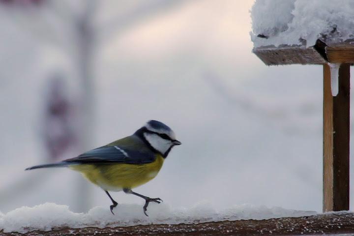 les oiseaux du jardin (fil ouvert) _MG_1314mod