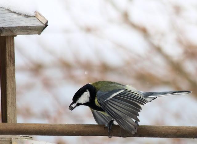 les oiseaux du jardin (fil ouvert) _MG_1464mod