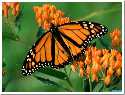 www.wallpapere.eu-Monarch_Butterfly