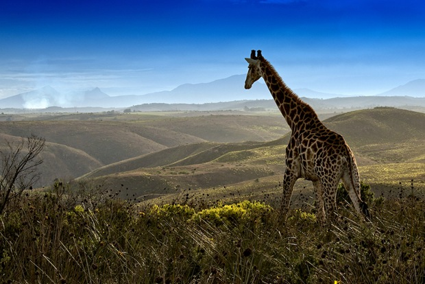 Wildlife-photography-Giraffe