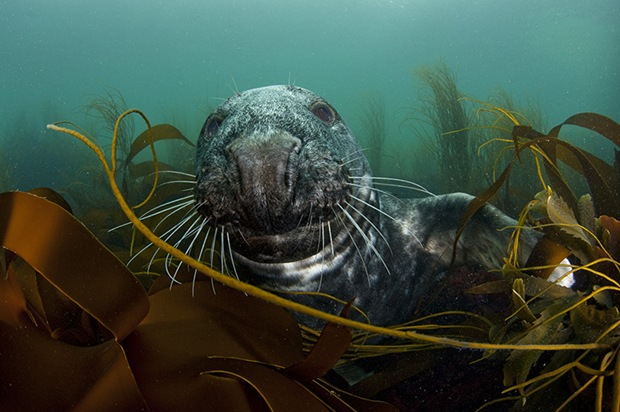 Grey-Seal-In-Seaweed- Bed