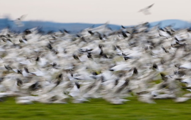 Blurry birds (show geese from Siberia) in Fir Island, Mt. Vernon, Washington.