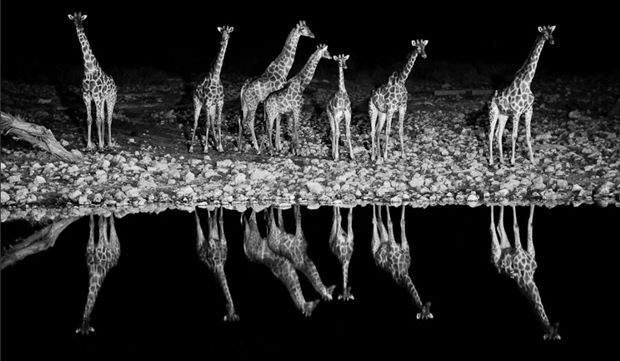Giraffe at Okaukuejo waterhole, Etosha National Park, Namibia