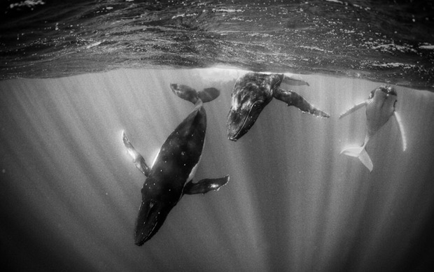 Humpback Whales in Sunlit Water at Moorea, French Polynesia