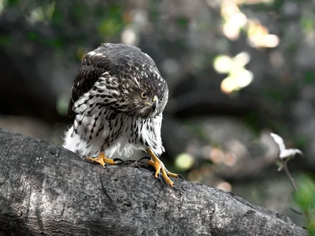 Cooper 's -hawk photography