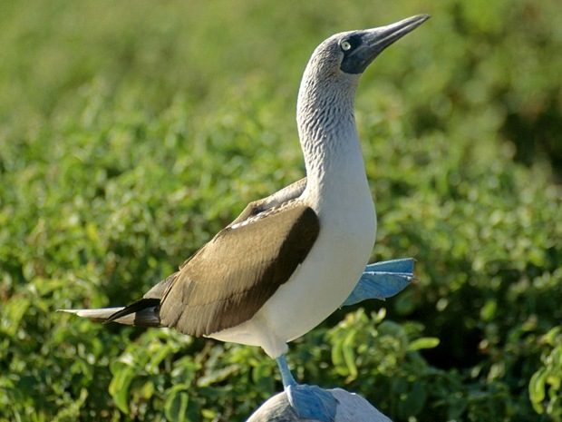 Not just attractive physical features, the blue feet of this booby can be used to cover its chicks and keep them warm.