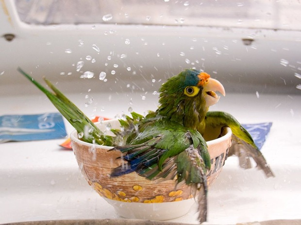 During a boat trip across the Gulf of Papagayo, this parrot decided that he couldn't stand the heat of the Guanacaste summer and decided to take a bath.