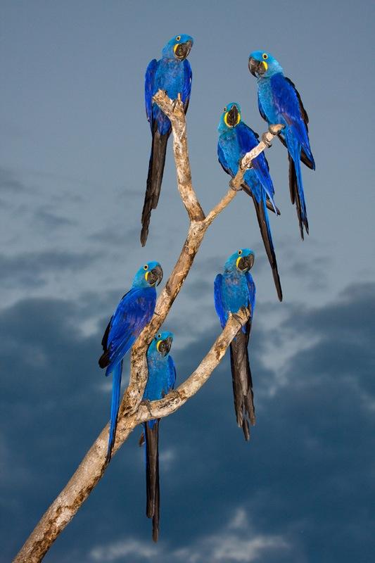 Colorful-photography-of-birds- Araras-Azuis