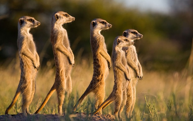 -Wildlife-photography- Meerkat