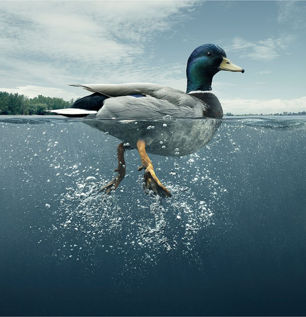 animal-photography-duck-bird