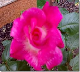 Cópia de rosa mista perto