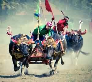 Makepung, Bali's Bull Racing Grand Prix