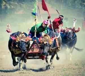 Makepung, Bali's Bull Racing Grand Prix