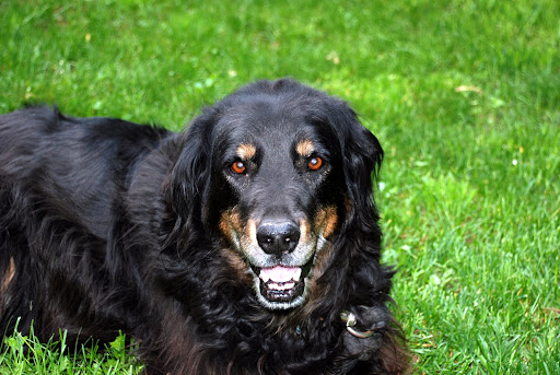 Beautiful Gordon Setter dog-male laying in the park