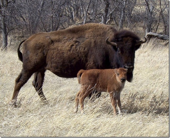 First Baby Buffalo Calf born in 2011. Born on April Fools Day!