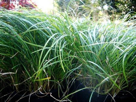 MONKEY-GRASS