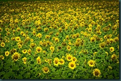 sunflower-mic