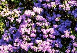 Occorre Lo Speciale Terriccio Per Piante Acidofile, Perché I Rododendri  (salvo Alcune Varietà Ottenute Per Innesto) Temono Il Calcare.
