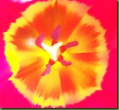 feb tulips 003