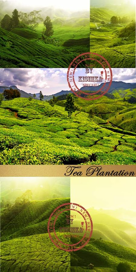 Stock Photo: Tea Plantation