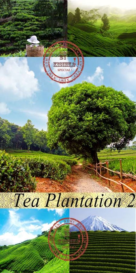 Stock Photo: Tea Plantation 2