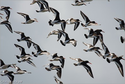 Oystercatcher Flock