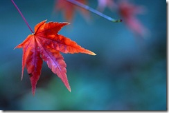 800px-Red_maple_leaf