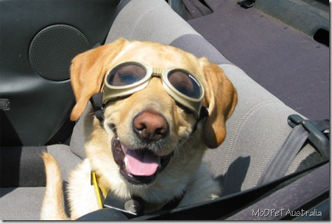 doggles yellow_lab